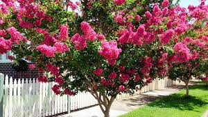 Trees With Pink Flowers Crepe Myrtle Burke U0027s Backyard
