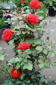 Patio Tree Rose by Yellow Knockout Roses For Sale The Yellow Rose Of Texas