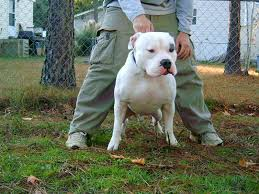 american pitbull terrier game bred bloodlines how to start a pit bull kennel u2013 how nigeria news