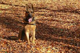 belgian shepherd how to train how to teach your german shepherd dog to stay u2013 iheartdogs com