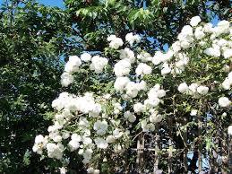 Trellis For Climbers Best Plants For A Trellis Arbor Or Climbing Wall Infobarrel