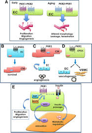 updates on endothelial functions of proangiogenic prokineticin