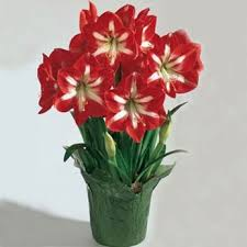 17 best amaryllis gifts images on container flower