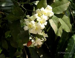 murraya paniculata large orange jasmine murraya paniculata kamini flowers and fruits commonly u2026 flickr