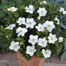 plants native to louisiana wild gardenia known as