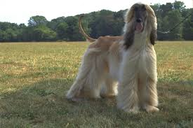 afghan hound and poodle 5 fun facts about the afghan hound american kennel club
