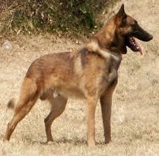 belgian sheepdog australia belgnte belgian shepherds about the breed