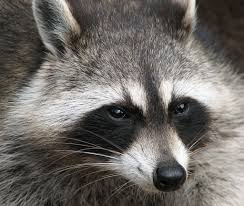 how do you get rid of raccoons tips and tales on raccoons and