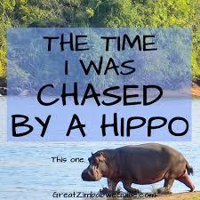 si e social hippopotamus mana pools hippo charge a call