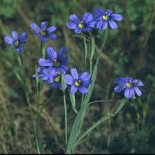 native pond plants for sale 4 in blue eyed grass potted bog marginal pond plant bp blue