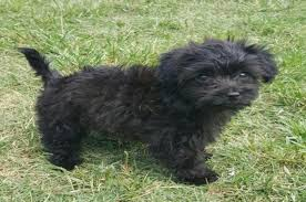 affenpinscher and chihuahua maltese dogs 6 popular haircut styles and colors