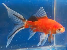 249 best poisson images on goldfish aquarium