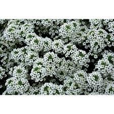 alyssum flowers proven winners snow princess sweet alyssum lobularia live plant