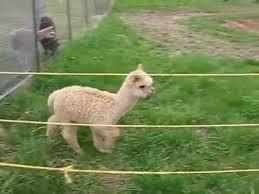Alpaca Sheep Meme - genie the baby alpaca animals know your meme