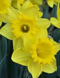 Ideas For Daffodil Varieties Design California Brittlebush Encelia Californica Landscaping Ideas