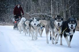 Image result for dog sledding Collage