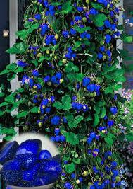 blue seed favorable 500pcs blue strawberry rare fruit vegetable seeds bonsai