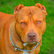 american pitbull terrier merchandise grand champion pitbull bloodlines purebred blue nose puppies