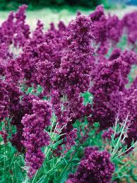 Salvia Flower Salvia Plumosa Bluestone Perennials
