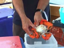 how to open a spanner crab youtube