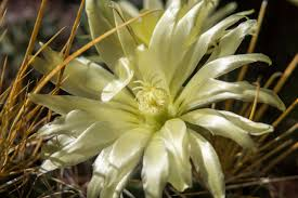 desert flower hardy flowers that thrive in dry climates blooms today