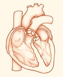 human heart drawing pictures images and stock photos istock