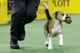 affenpinscher westminster 2015 westminster dog show beagle advances will it win csmonitor com
