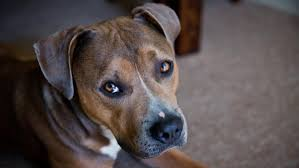 american pit bull terrier vs american staffordshire terrier what is the difference between an american staffordshire terrier