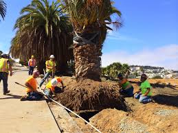 mission dolores park u2013 palm tree transplant san francisco