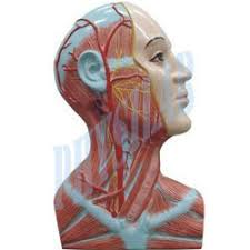 Right Side Human Anatomy Biological Models U0026 Models For Forensiclab A Dissection Of The