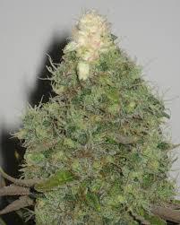 chambre de culture 1m2 cultiver du cannabis en espaces réduits du growshop alchimia
