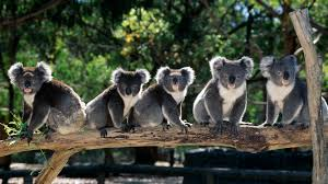 imagenes animales australia animales de australia