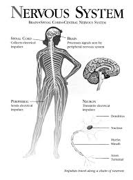 Human Anatomy And Body Systems Human Body Systems Lessons Tes Teach