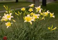day lilies growing daylilies yard and garden garden of