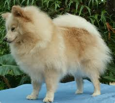 american eskimo dog in india german spitz wikipedia