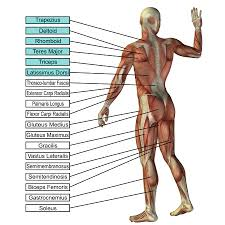 Human Anatomy Martini Crossfit Warrior Spirit Search Results Bottom Up