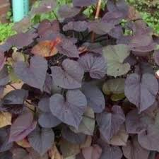 sweet potato vine ipomoea batatas ace of spades in the sweet