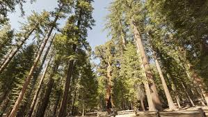 sequoia tree around 100 ft in tuolumne grove at