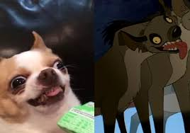 Chihuahua Meme - when a cute girl looks at me and i try to give her my cutest smile