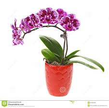 Flower Orchid Purple Orchid Flower In Pot Stock Photo Image 50483426