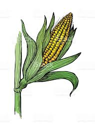 illustration of corn grain stalk sketch stock vector art 671428574