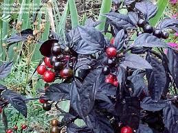 plantfiles pictures ornamental pepper black pearl capsicum