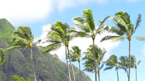 palm trees blowing in the wind hawaii stock footage videoblocks