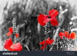 poppy red poppy flower symbol war stock photo 115185034 shutterstock