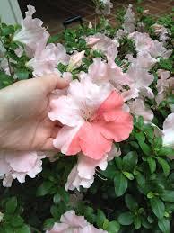 found a half pink half white flower in my garden today