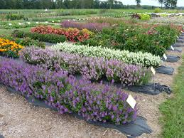 When Is Lavender In Season In Michigan by All America Selections 80 Year Seed History Began For Home Gardeners