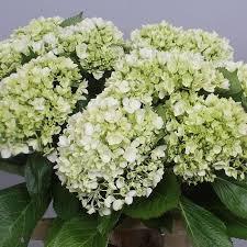 wholesale hydrangeas hydrangea wholesale flowers uk wedding flowers triangle nursery