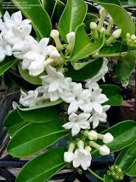 madagascar native plants madagascar jasmine bridal wreath bridal bouquet hawaiian