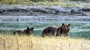 Bears Montana Hunting And Fishing - yellowstone grizzly bears could be vulnerable to hunters time