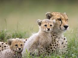 imagenes de leones salvajes gratis 48 fotografías fondos de tigres gatos leones felinos salvajes